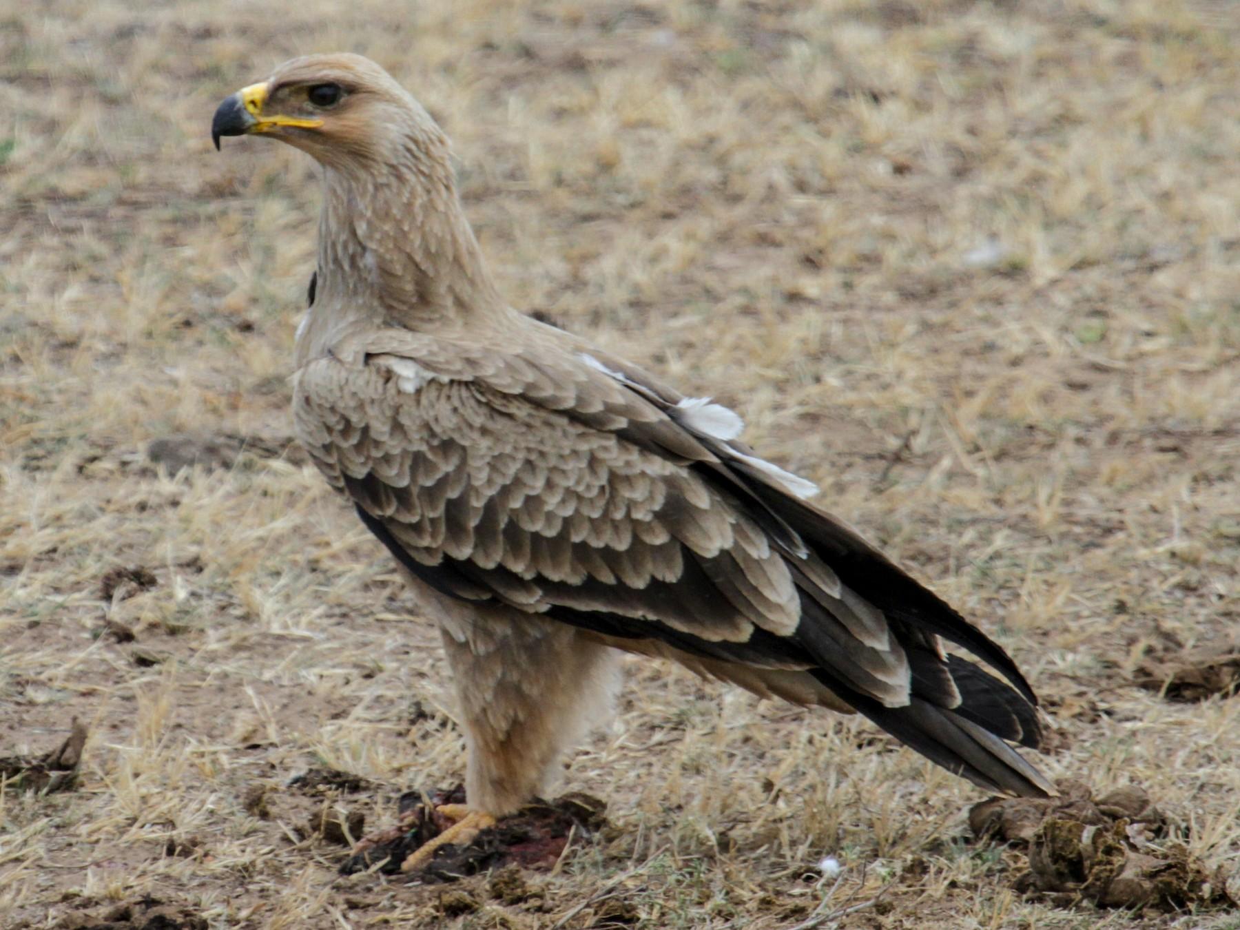 Tawny Eagle - Tommy Pedersen