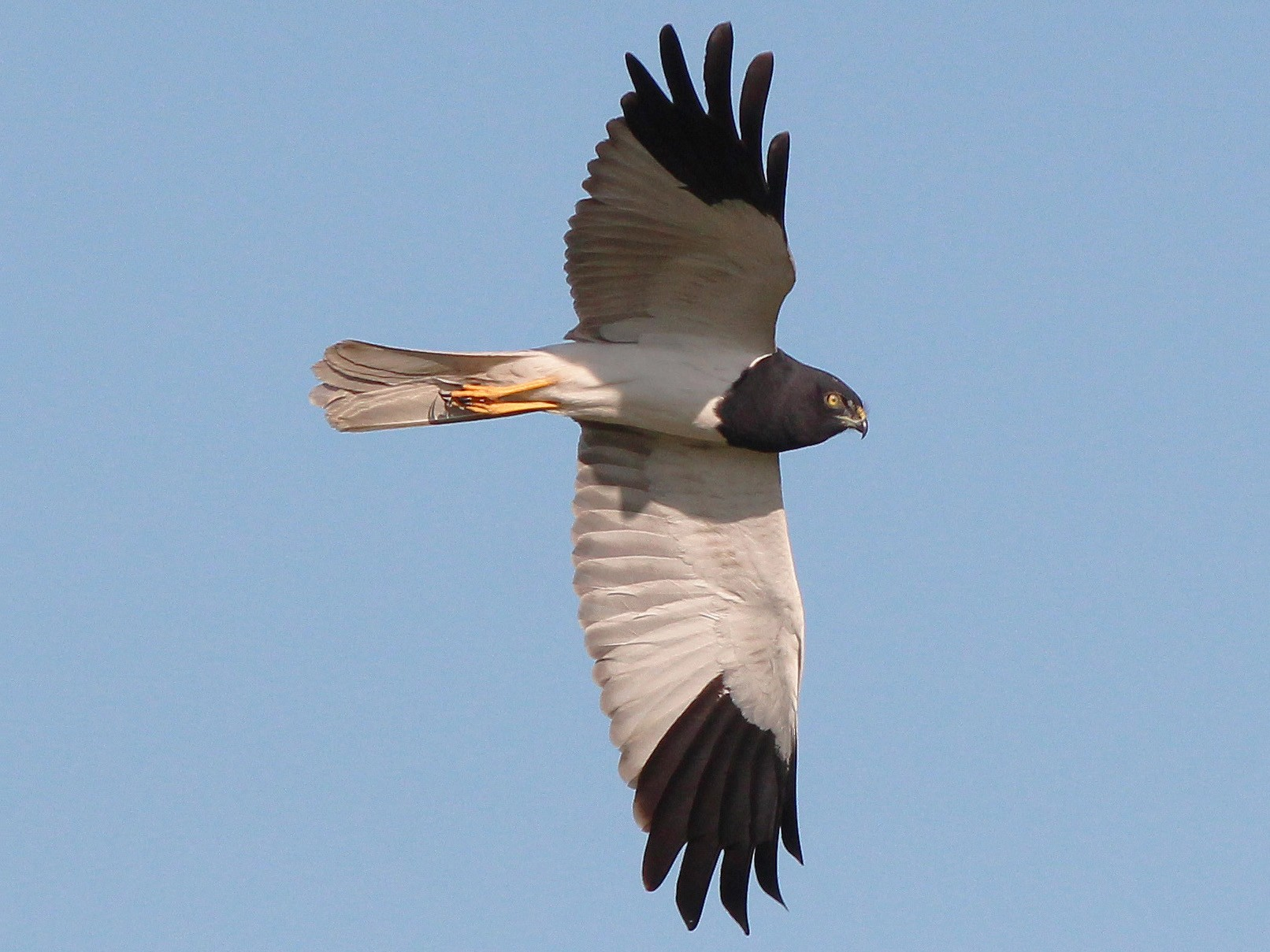 Pied Harrier - Neoh Hor Kee
