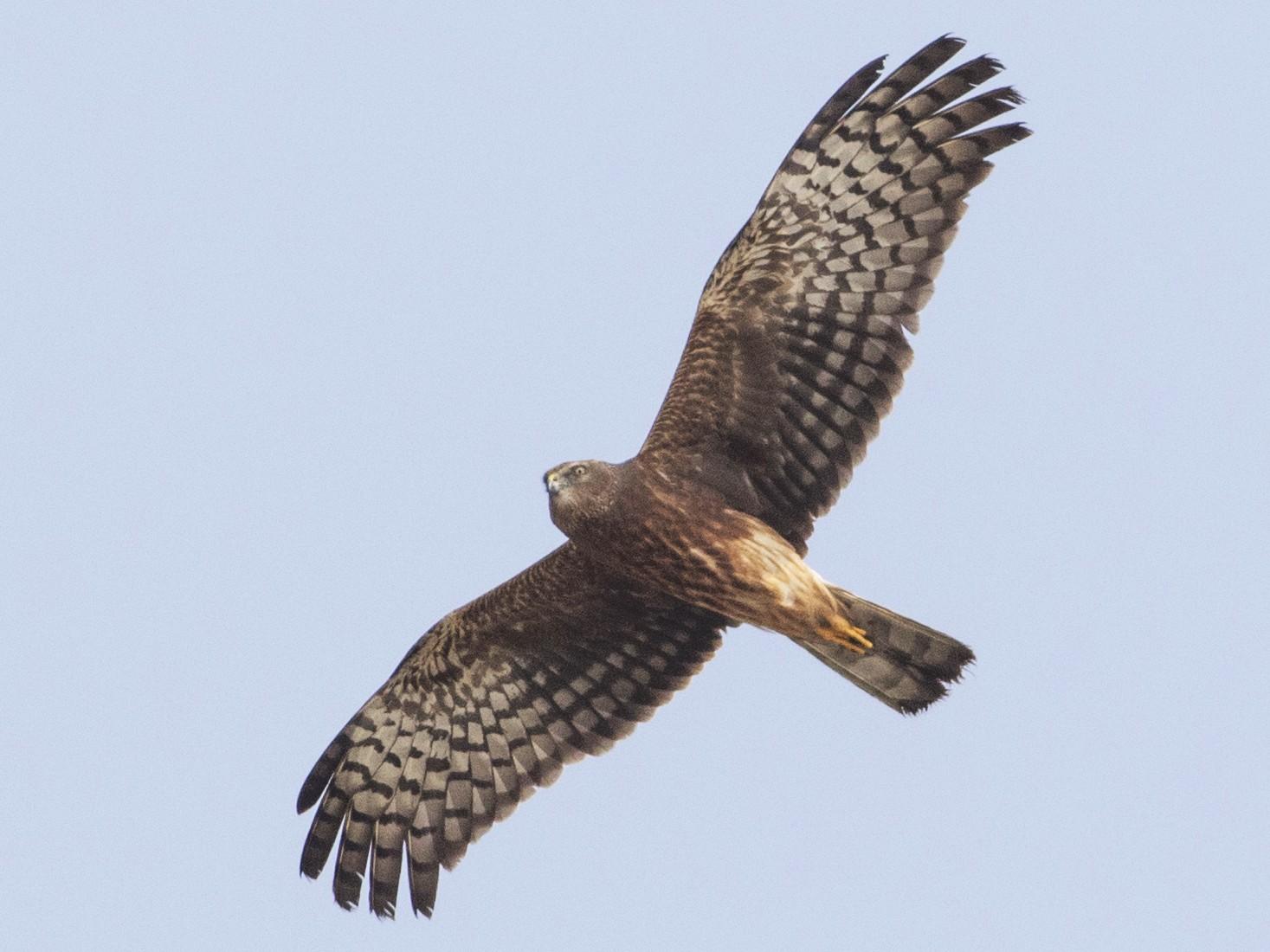 Pied Harrier - Rajdeep Mitra