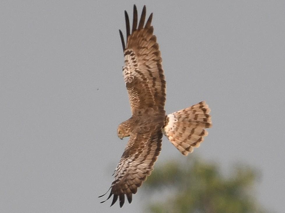 Pied Harrier - David Gandy