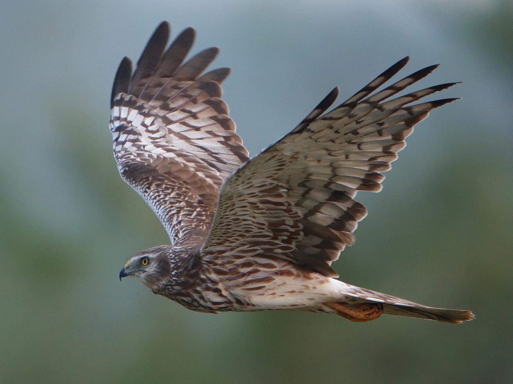 Pied Harrier - Udaya Kumar Balasubramanian
