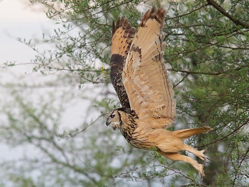 Rock Eagle-Owl - Sharad Agrawal