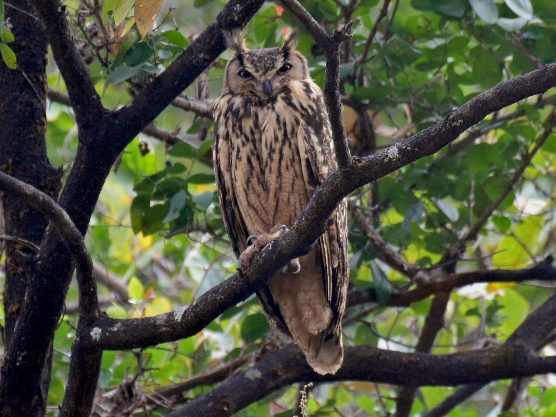Rock Eagle-Owl - AVINASH SHARMA