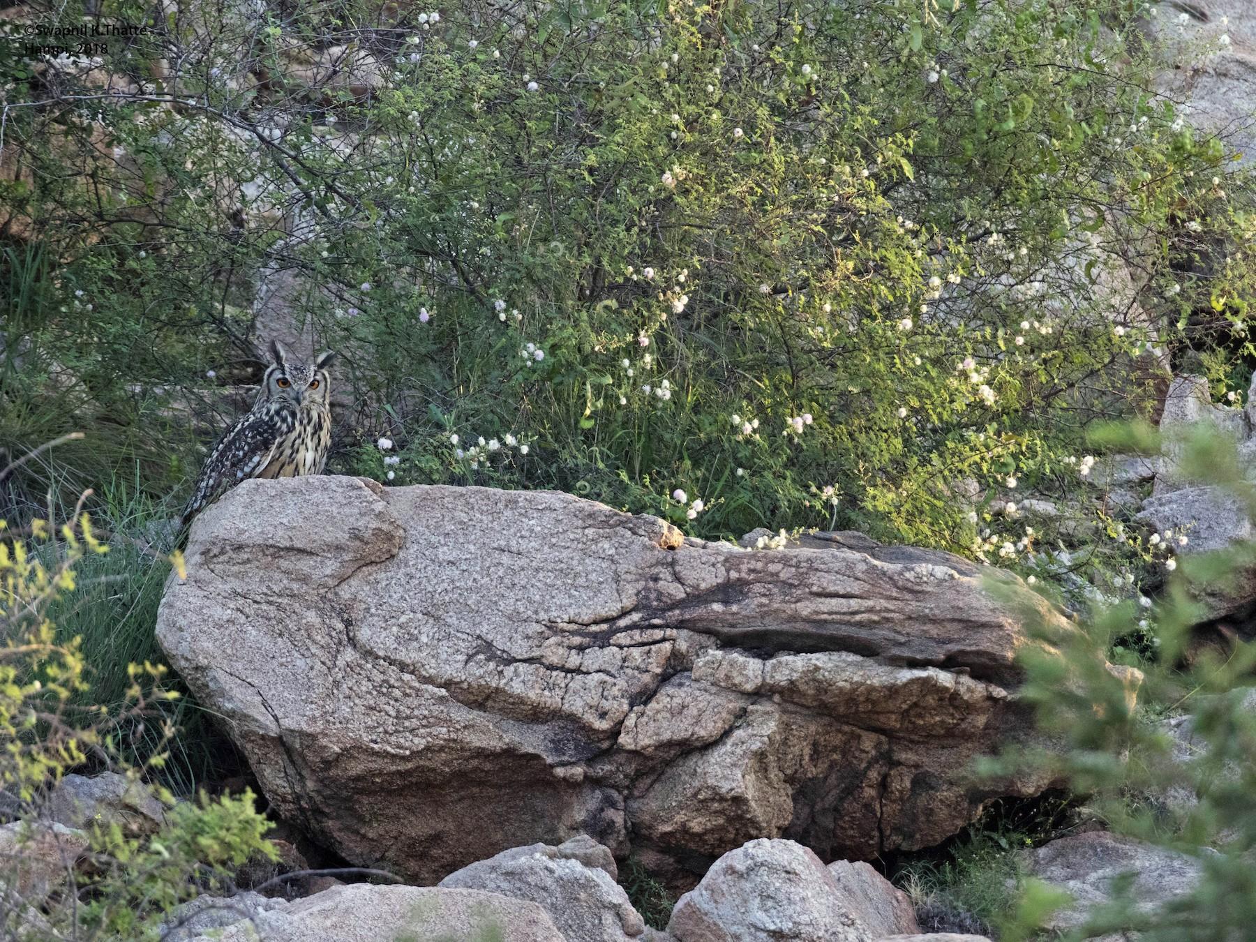 Rock Eagle-Owl - Swapnil Thatte