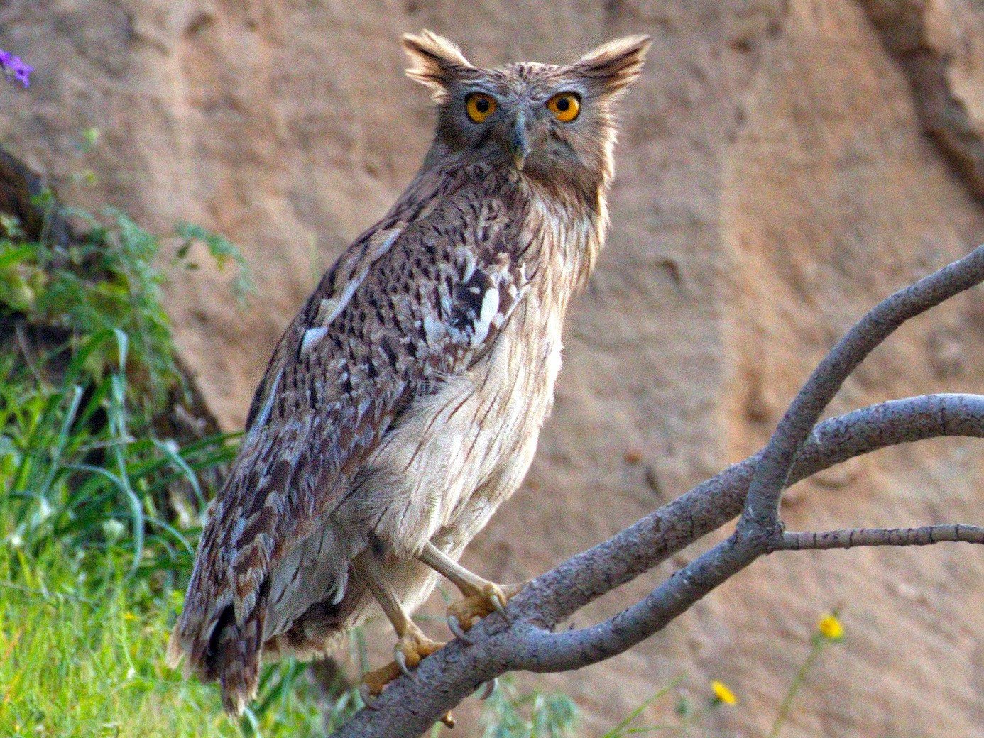 Brown Fish-Owl - Atefeh Moosavian