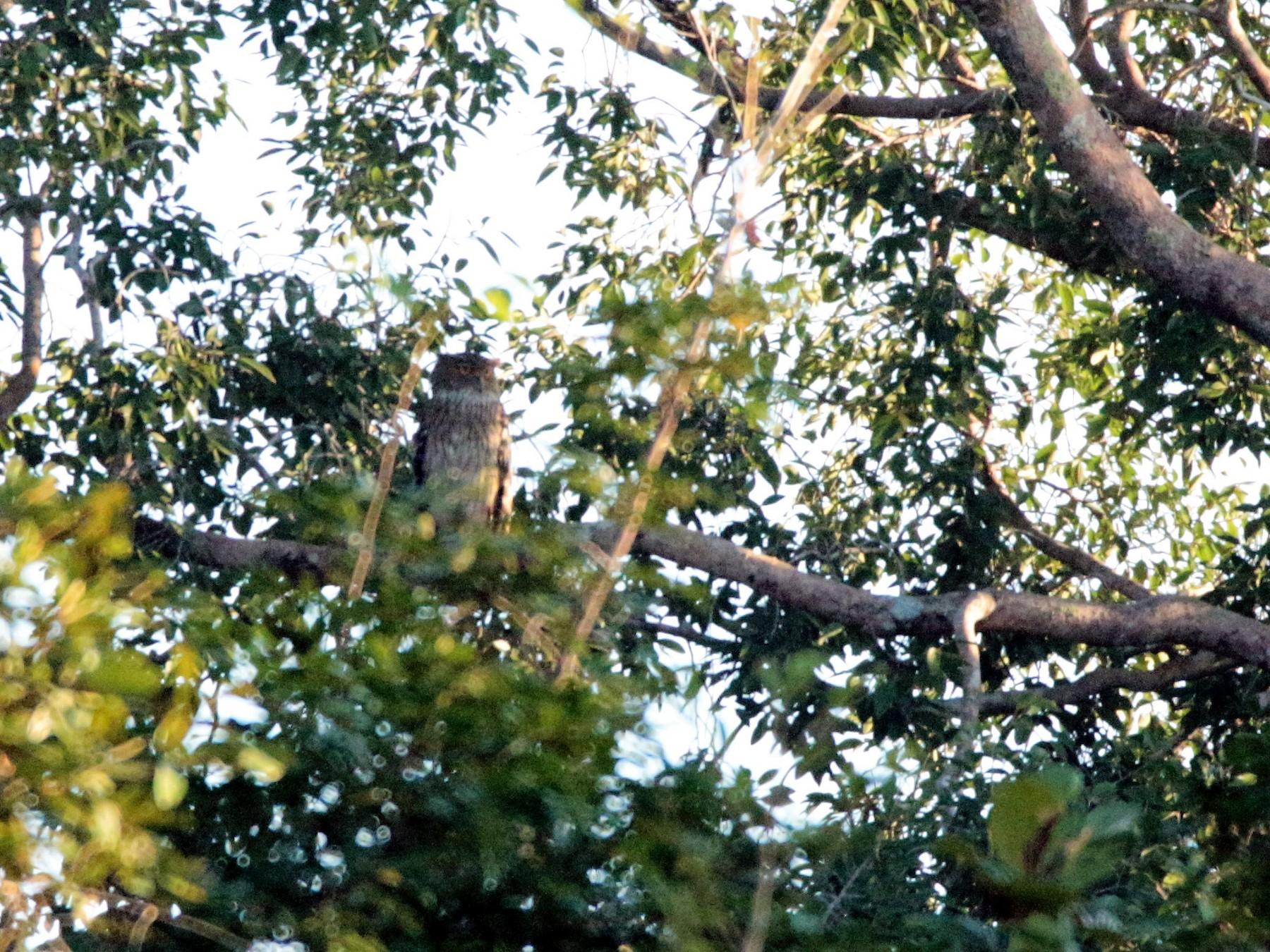 Brown Fish-Owl - Fadzrun A.