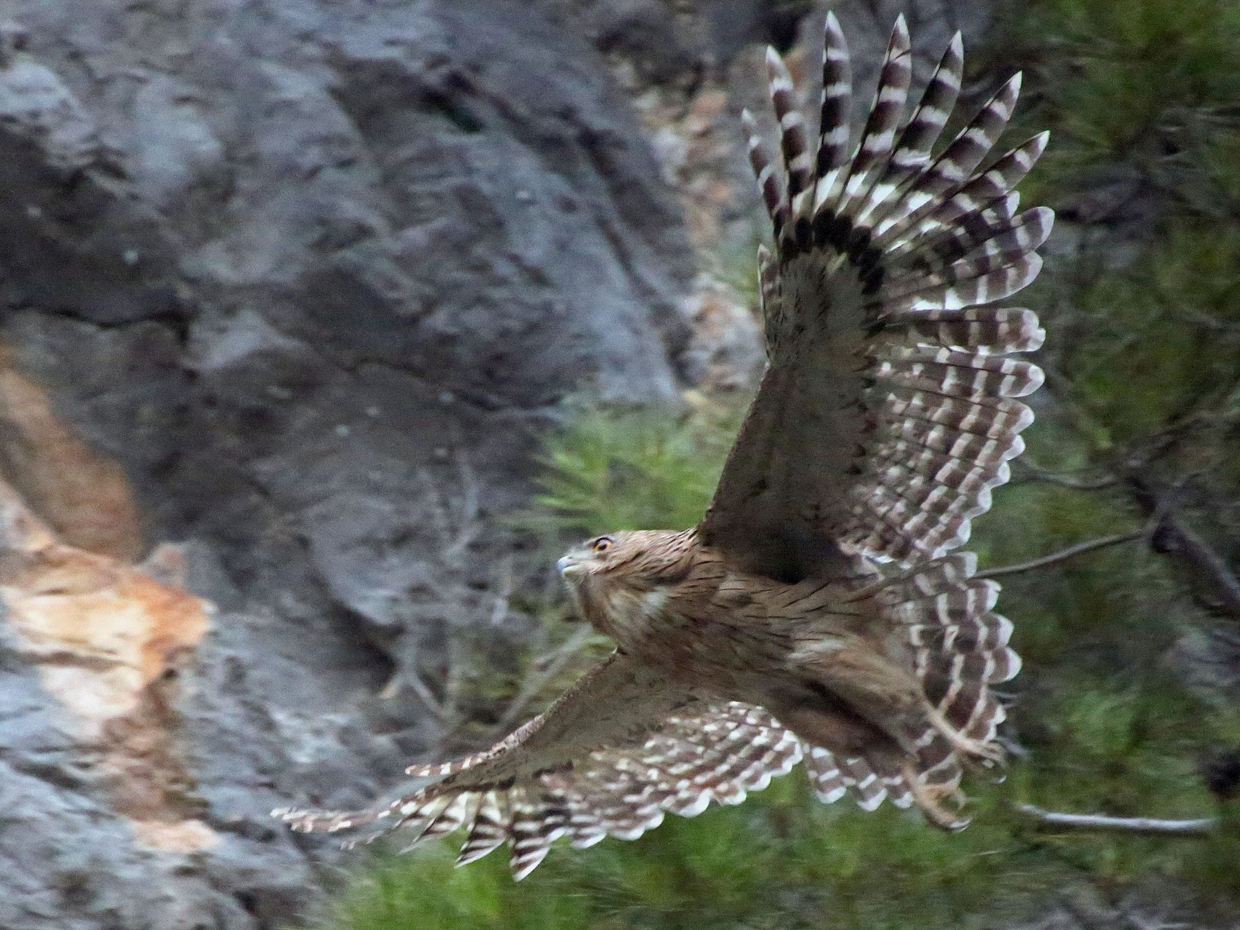 Brown Fish-Owl - Paul Chapman