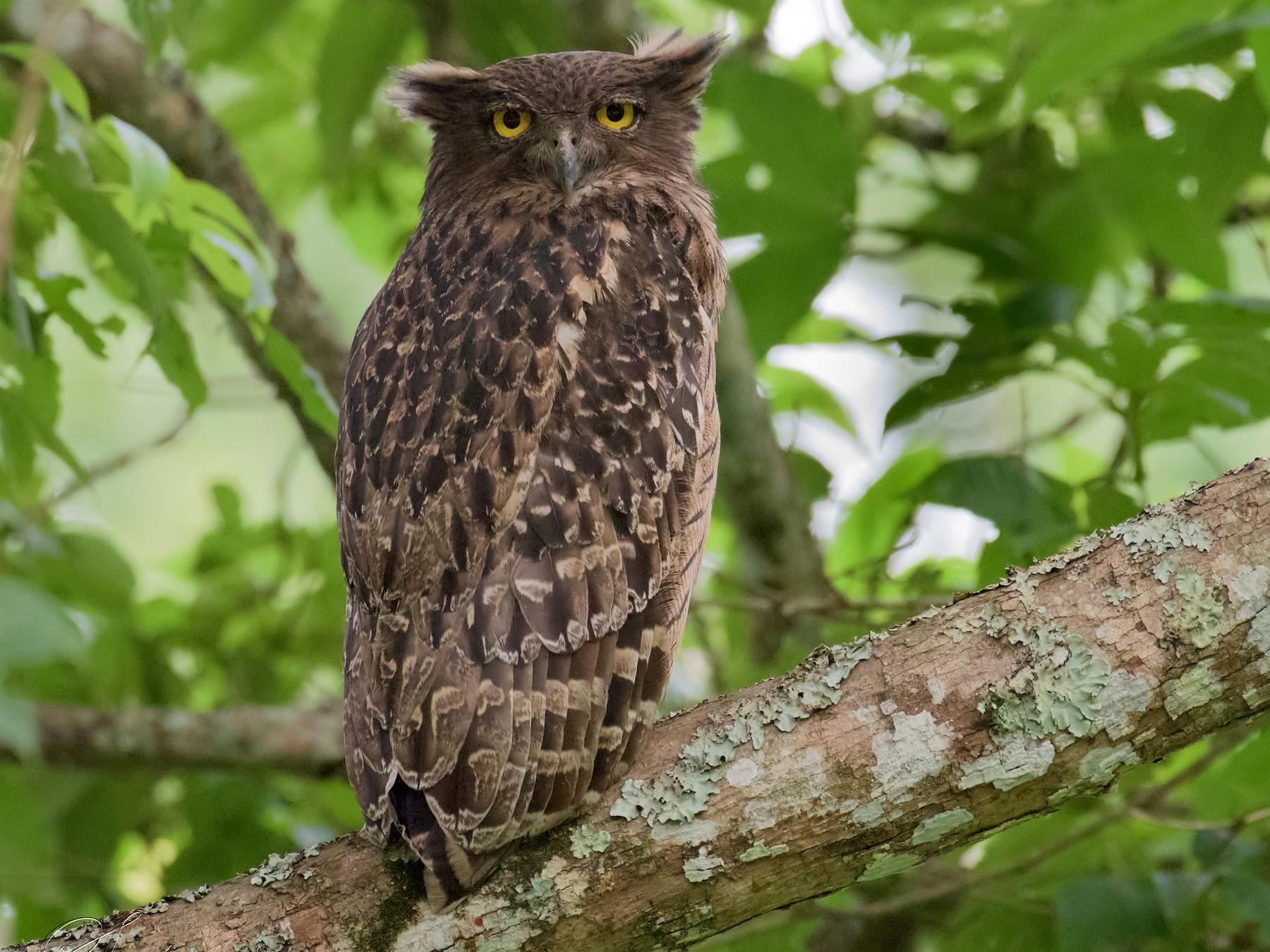 Brown Fish-Owl - Sahasrangshu Pal Choudhury