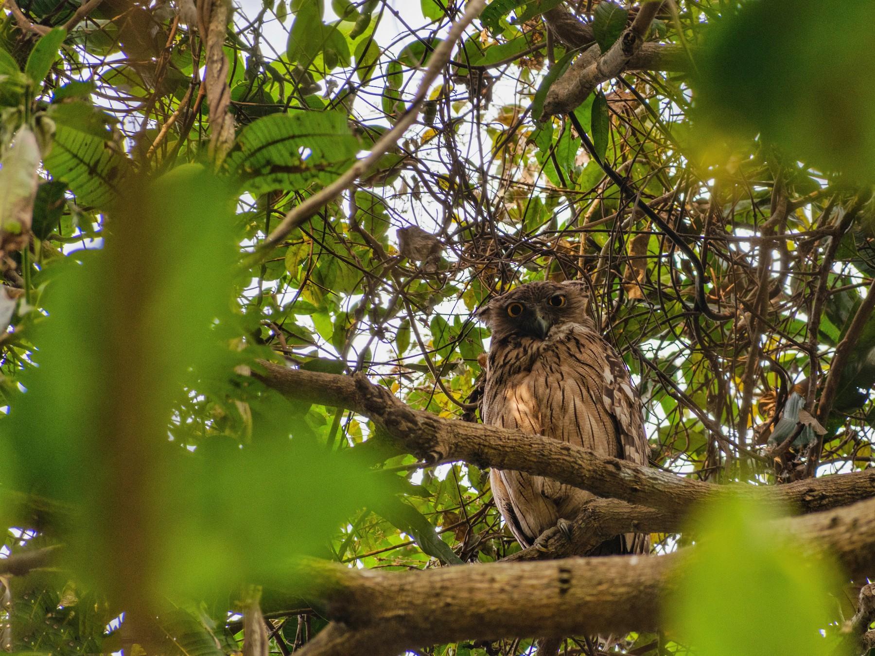 Brown Fish-Owl - Rounak Patra