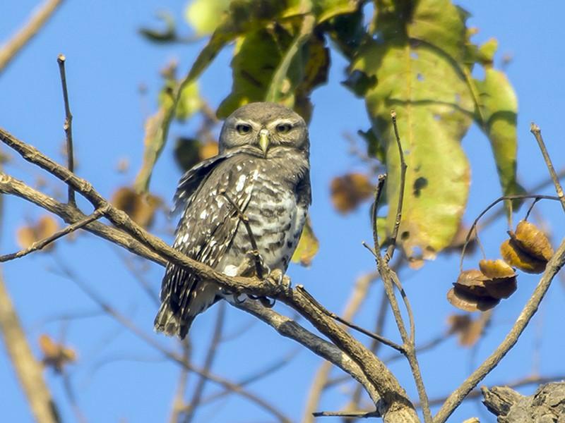 Forest Owlet - Aditya Roy