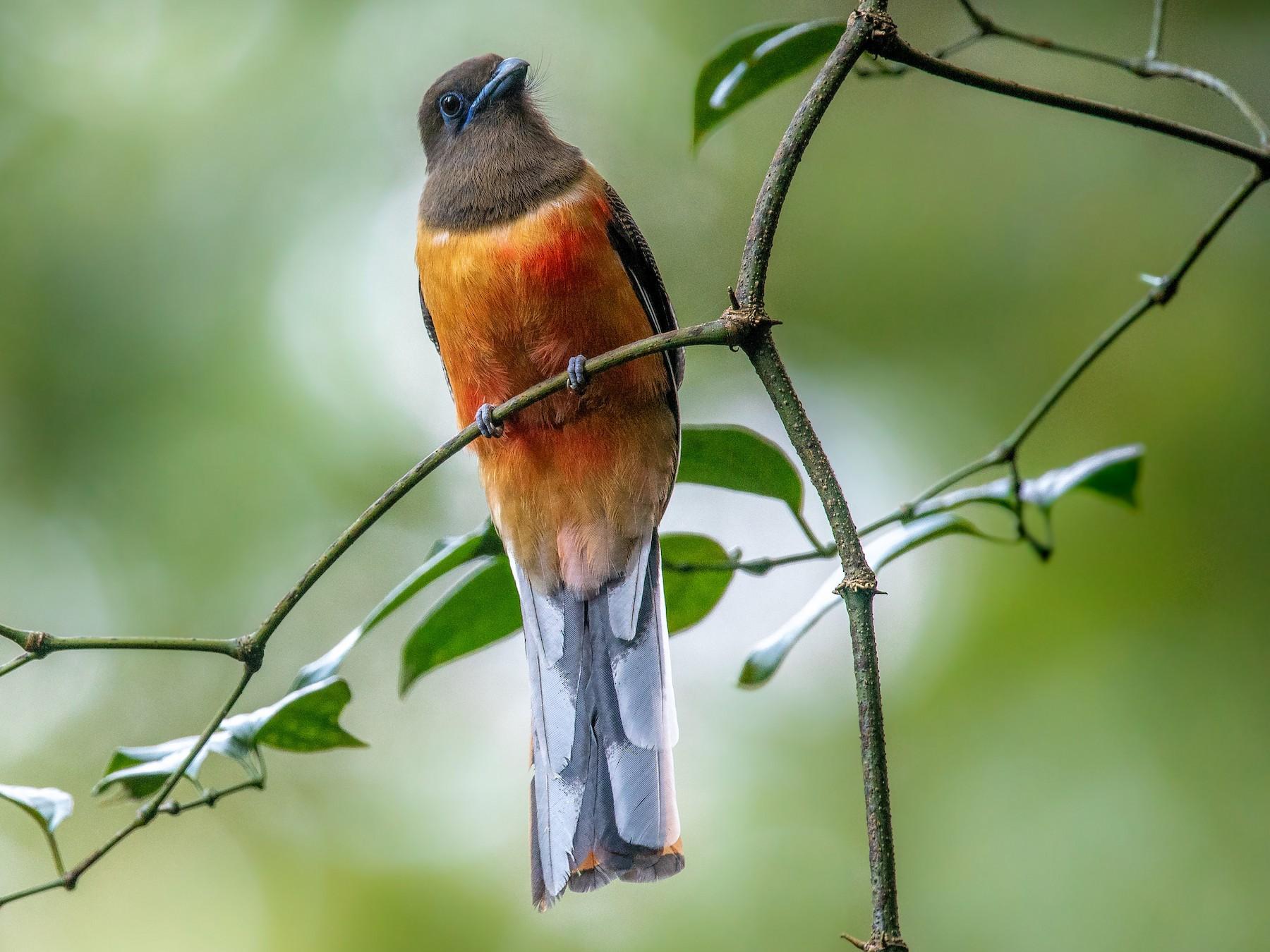 Malabar Trogon - Sivaguru Noopuran PRS
