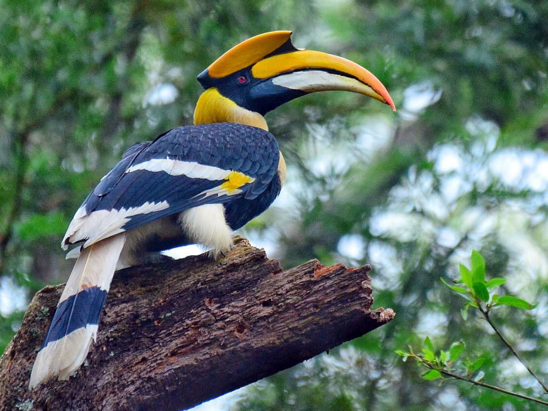 Great Hornbill - Renuka Vijayaraghavan
