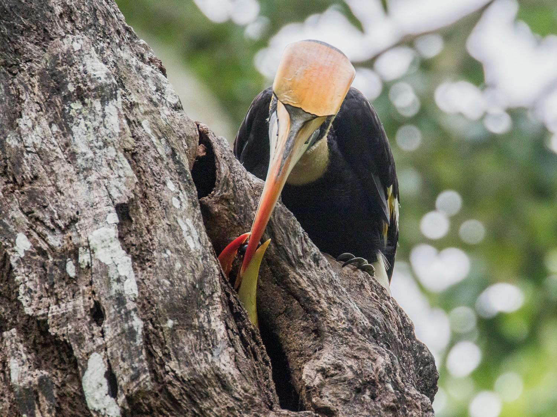 Great Hornbill - Peter Crook