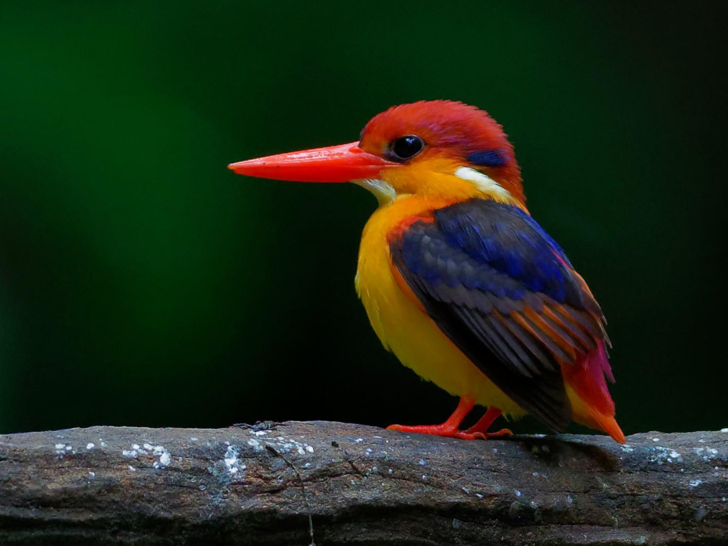 Black-backed Dwarf-Kingfisher - Vincent Wang