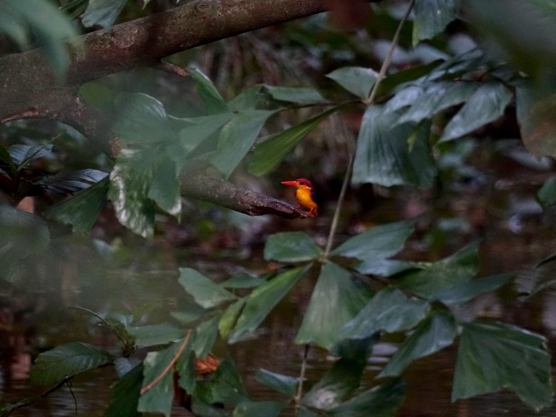 Black-backed Dwarf-Kingfisher - Raghav Narayanswamy