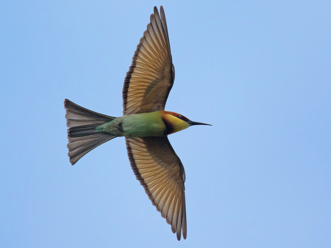 Chestnut-headed Bee-eater - Ayuwat Jearwattanakanok