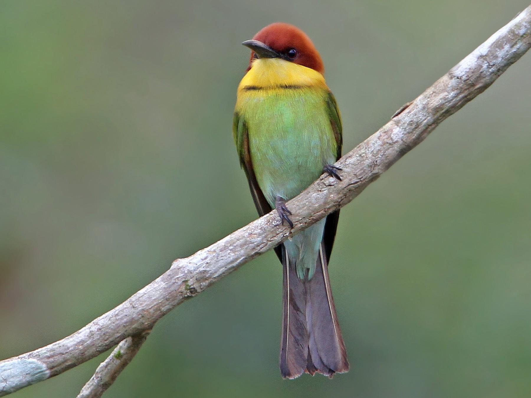 Chestnut-headed Bee-eater - Christoph Moning