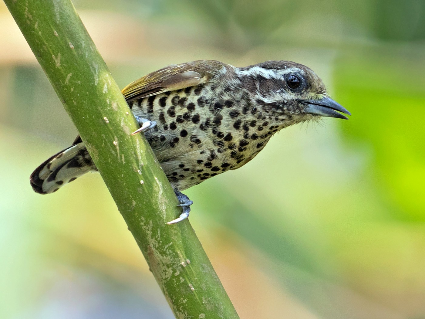 Speckled Piculet - Sam Woods