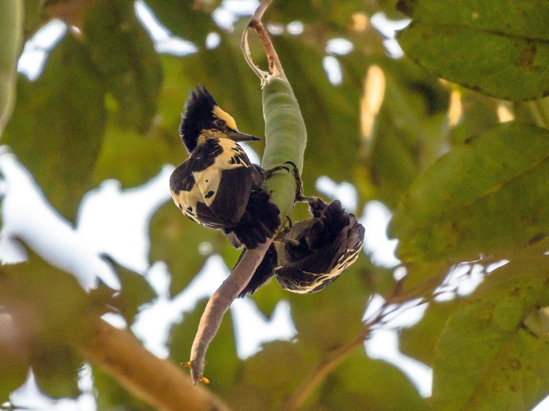 Heart-spotted Woodpecker - Ankur Shekdar