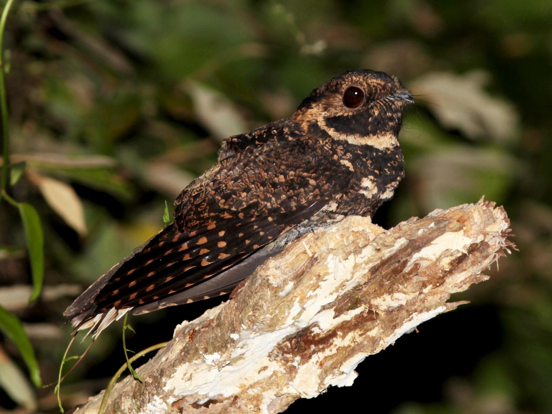 Silky-tailed Nightjar - Alex Mesquita
