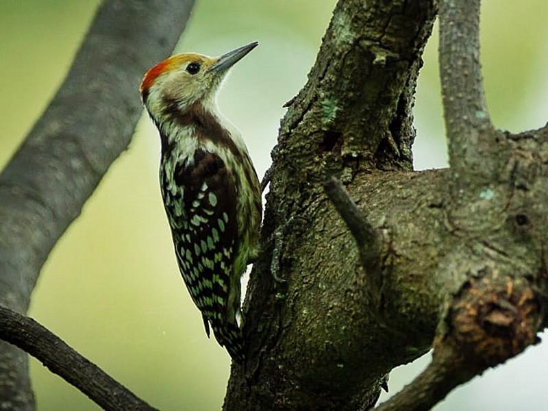 Yellow-crowned Woodpecker - Coimbatore Nature Society
