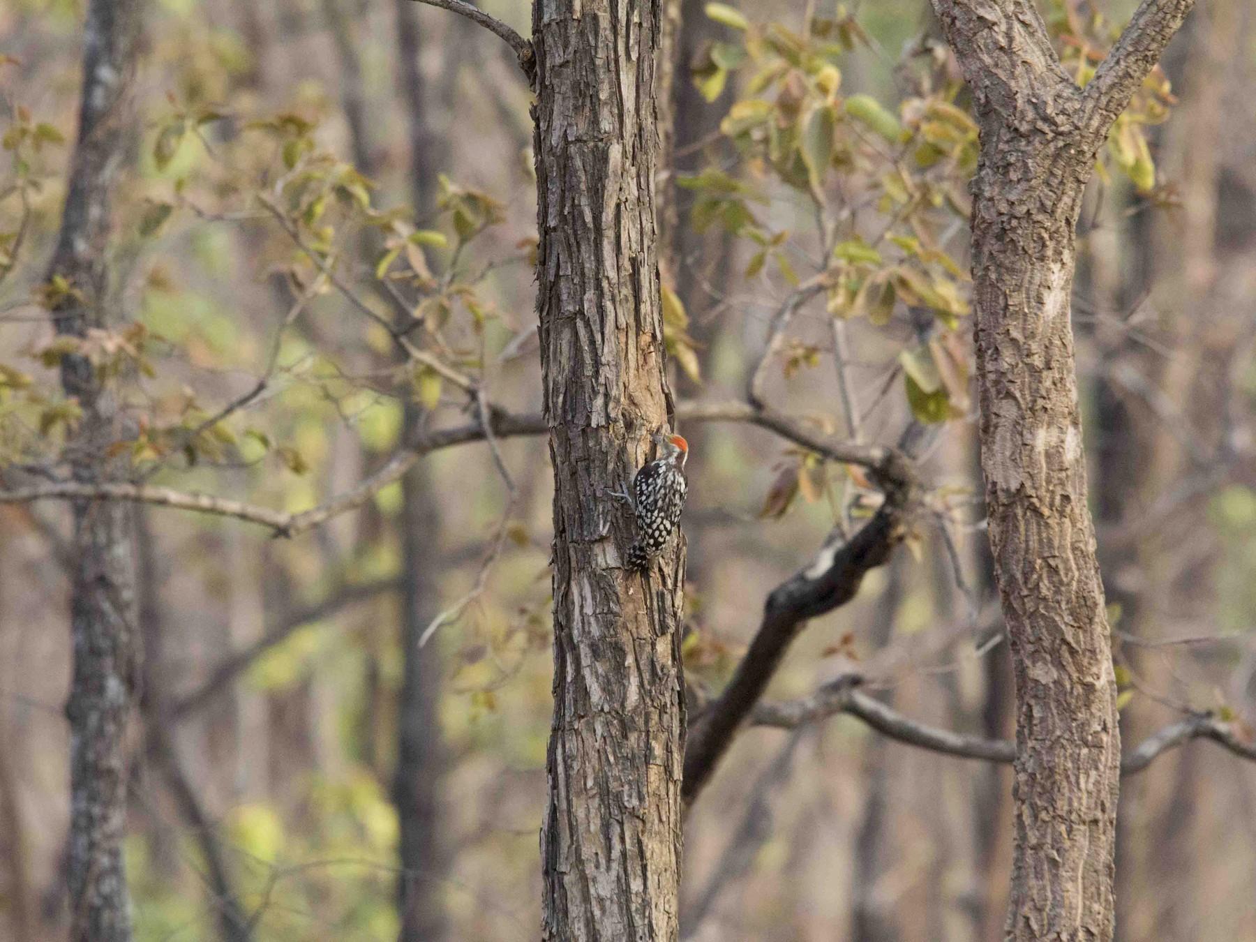 Yellow-crowned Woodpecker - Sushma Reddy