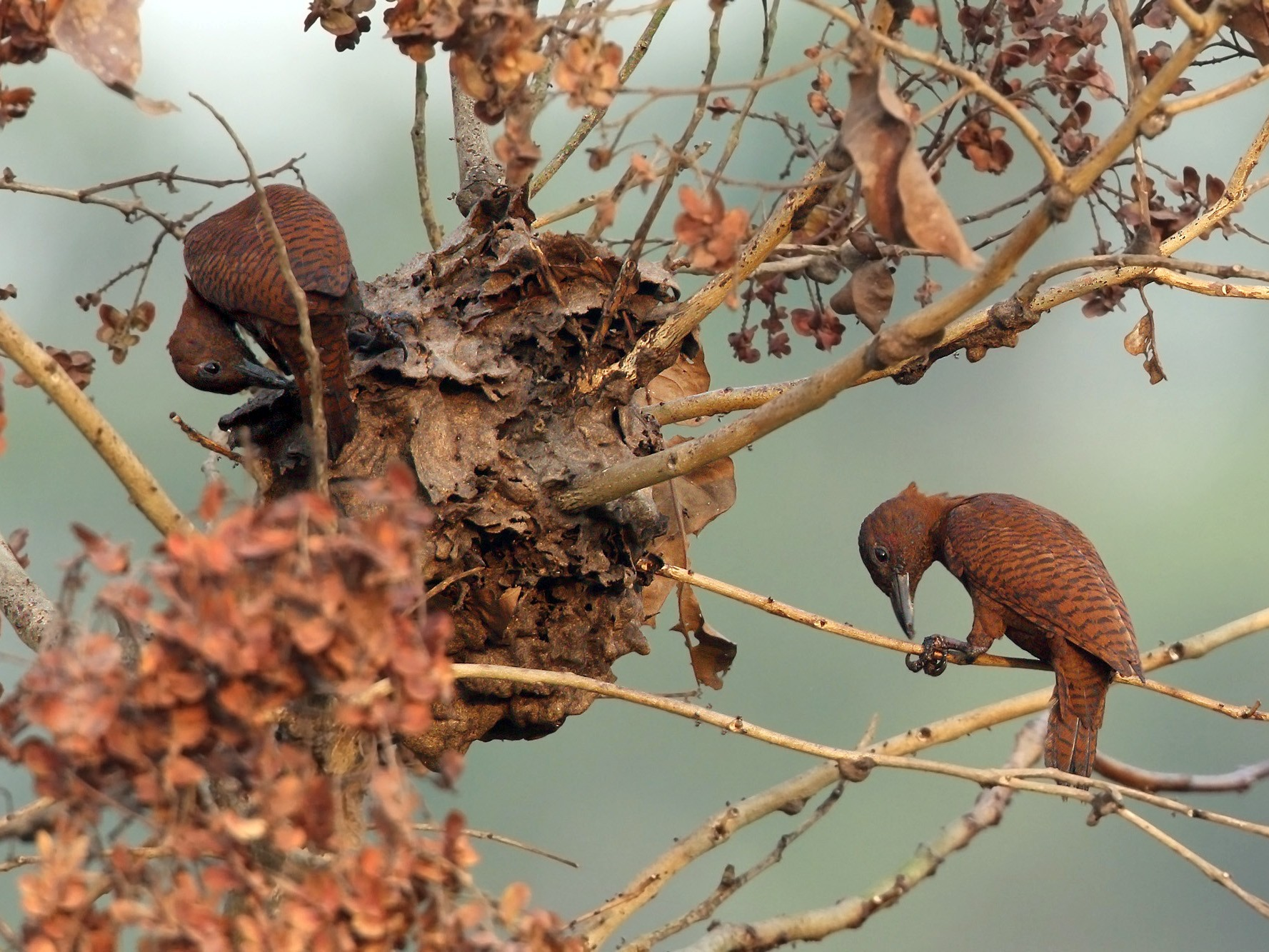 Rufous Woodpecker - Martjan Lammertink