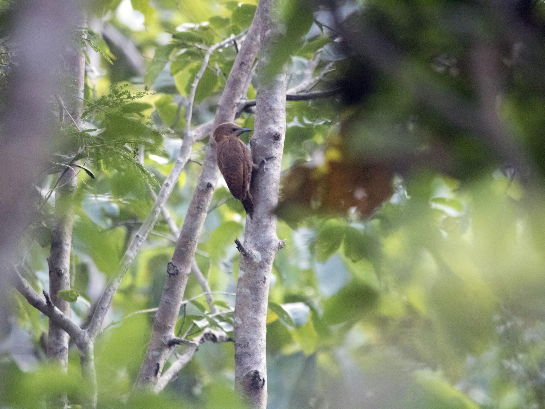 Rufous Woodpecker - Ravi naidu