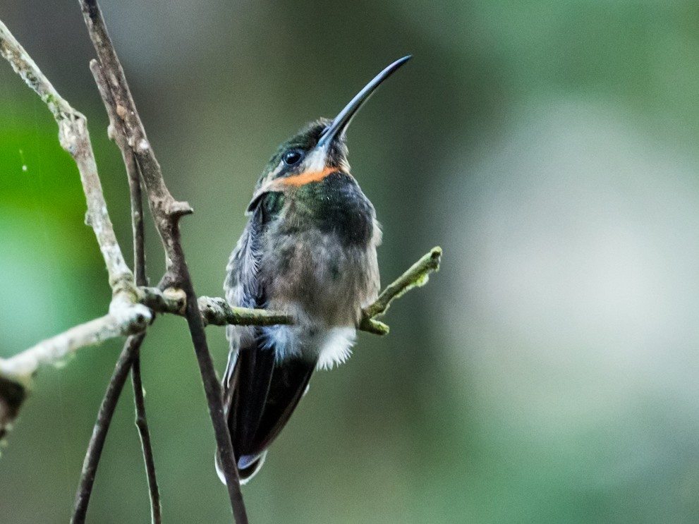 Pale-tailed Barbthroat - Nick Athanas