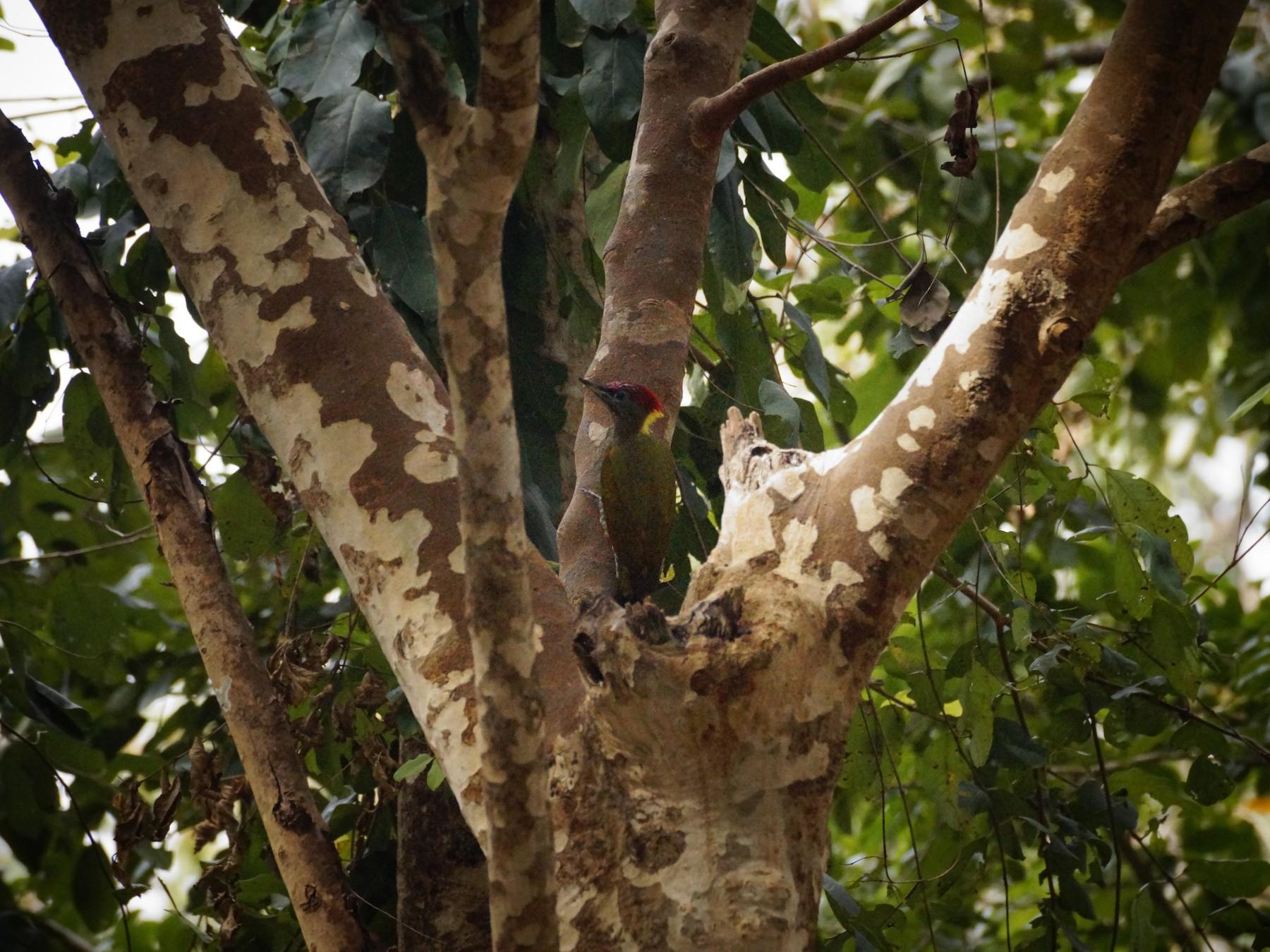 Lesser Yellownape - Subin Sudheendran
