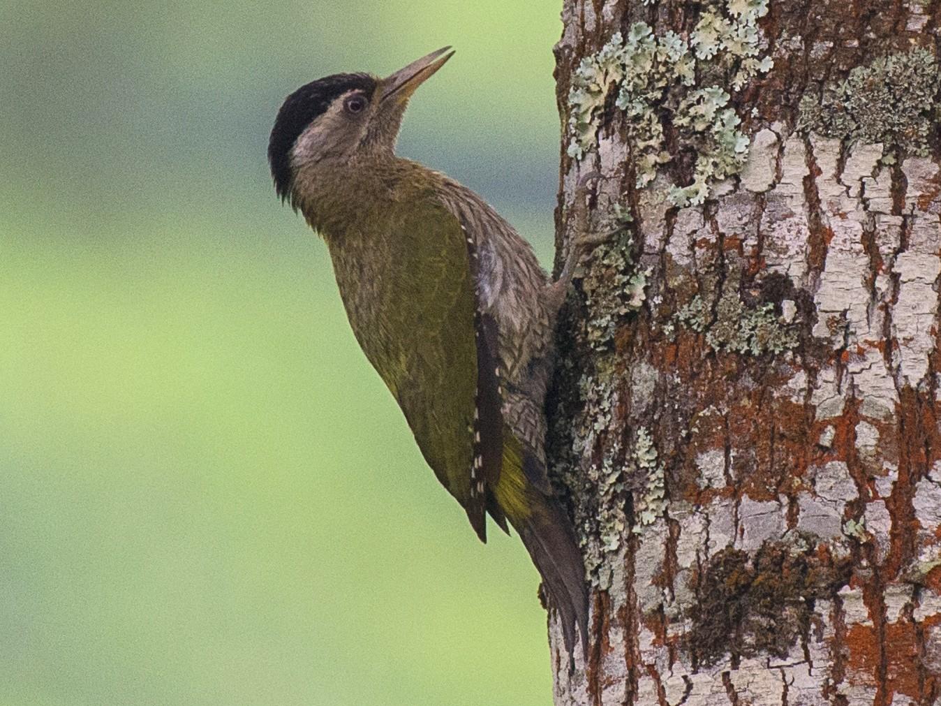 Streak-throated Woodpecker - Sahasrangshu Pal Choudhury