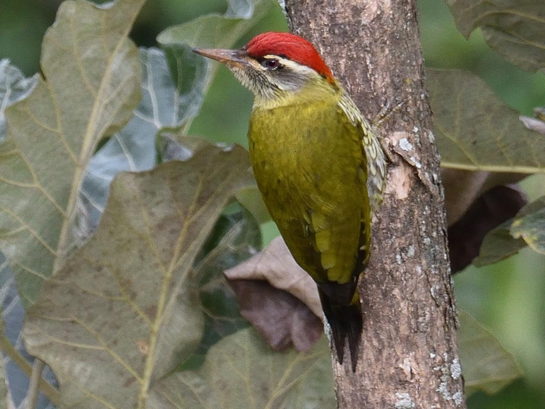 Streak-throated Woodpecker - Mallika Rajasekaran