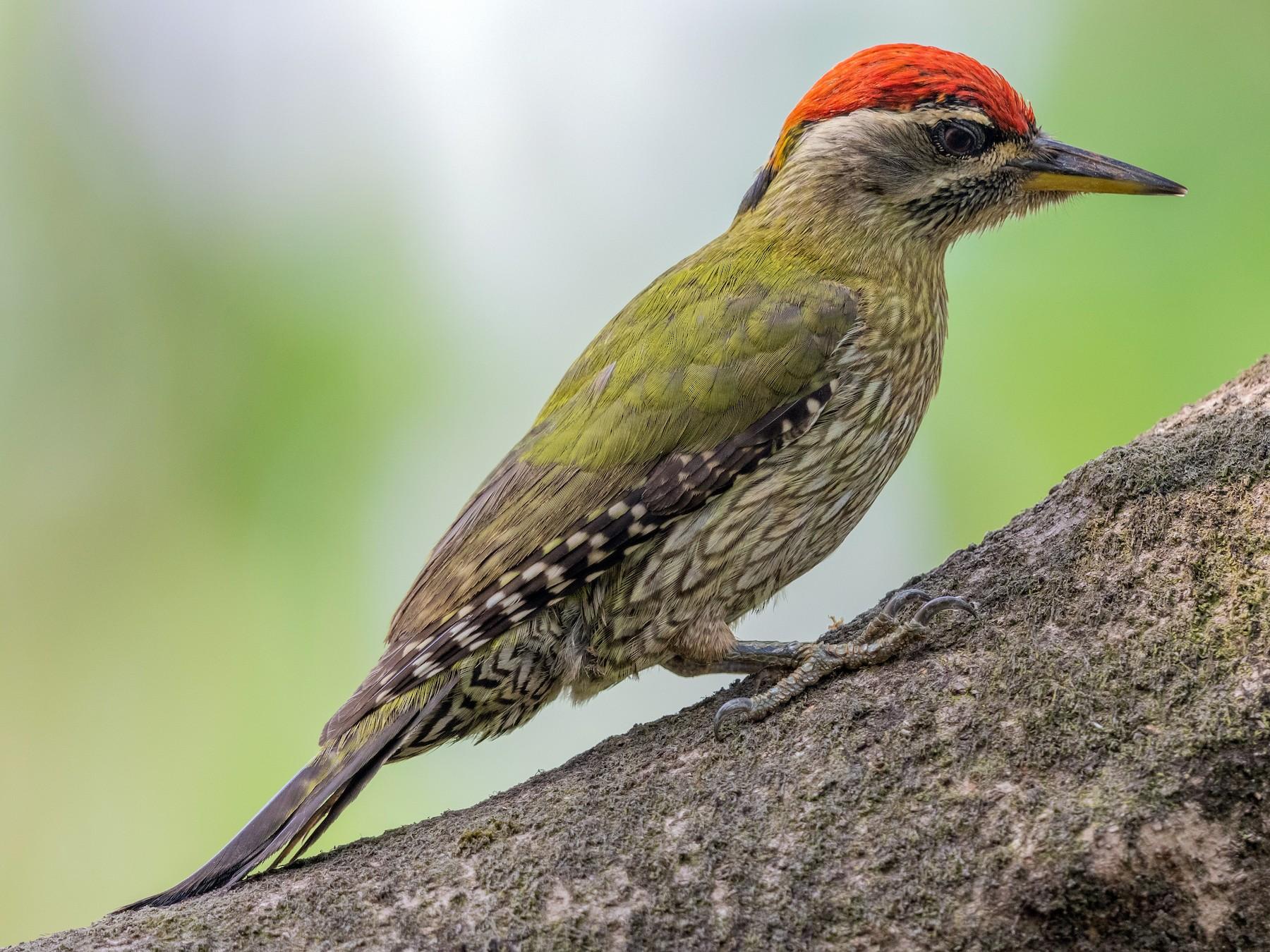 Streak-throated Woodpecker - Stefan  Hirsch
