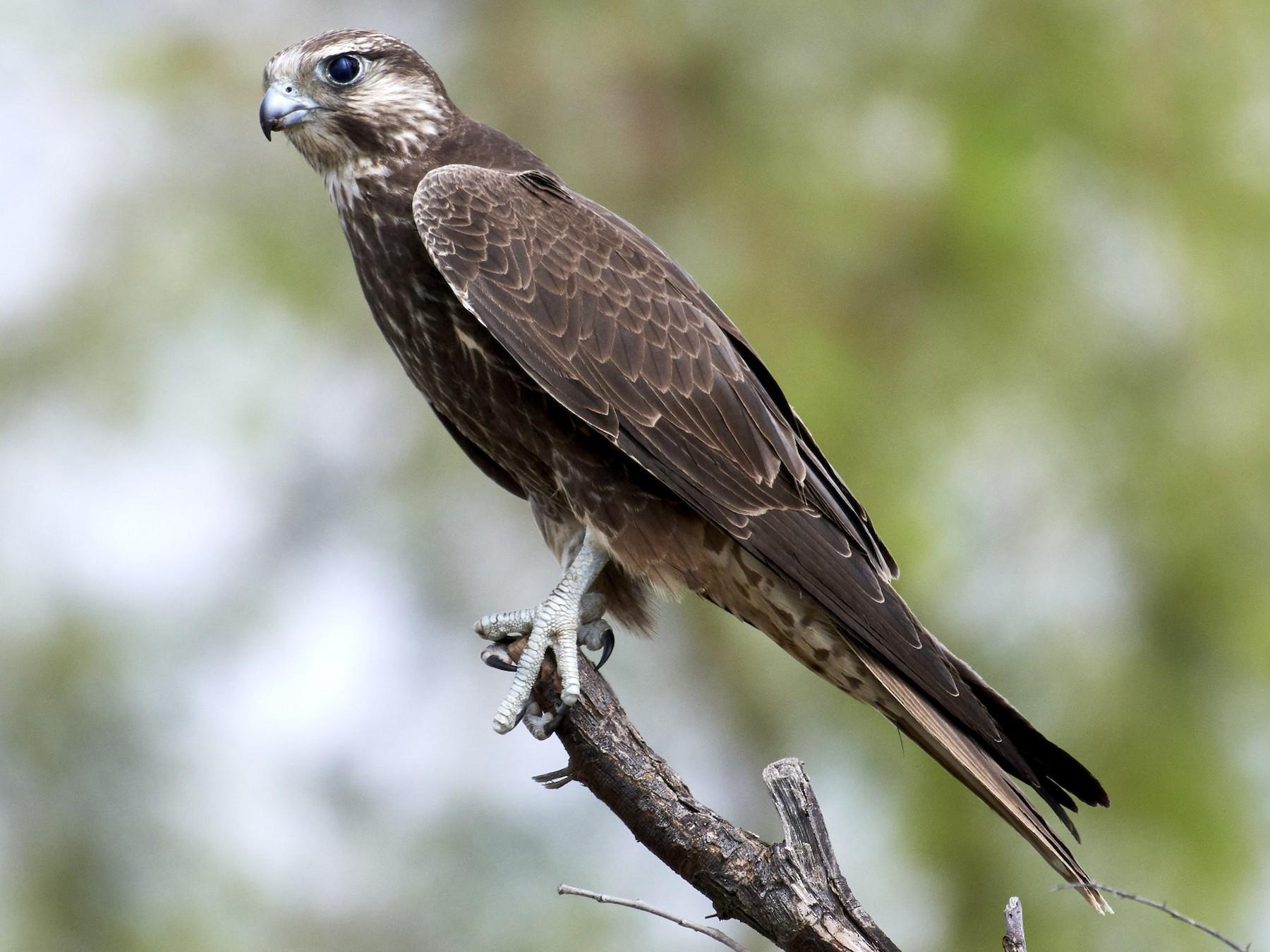 Laggar Falcon - S S Cheema