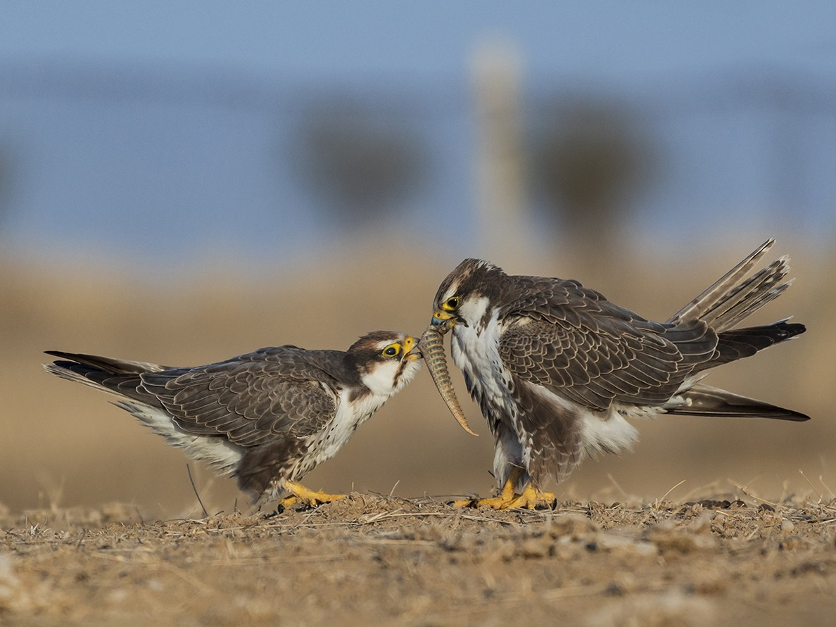 Laggar Falcon - Mahesh Kulkarni