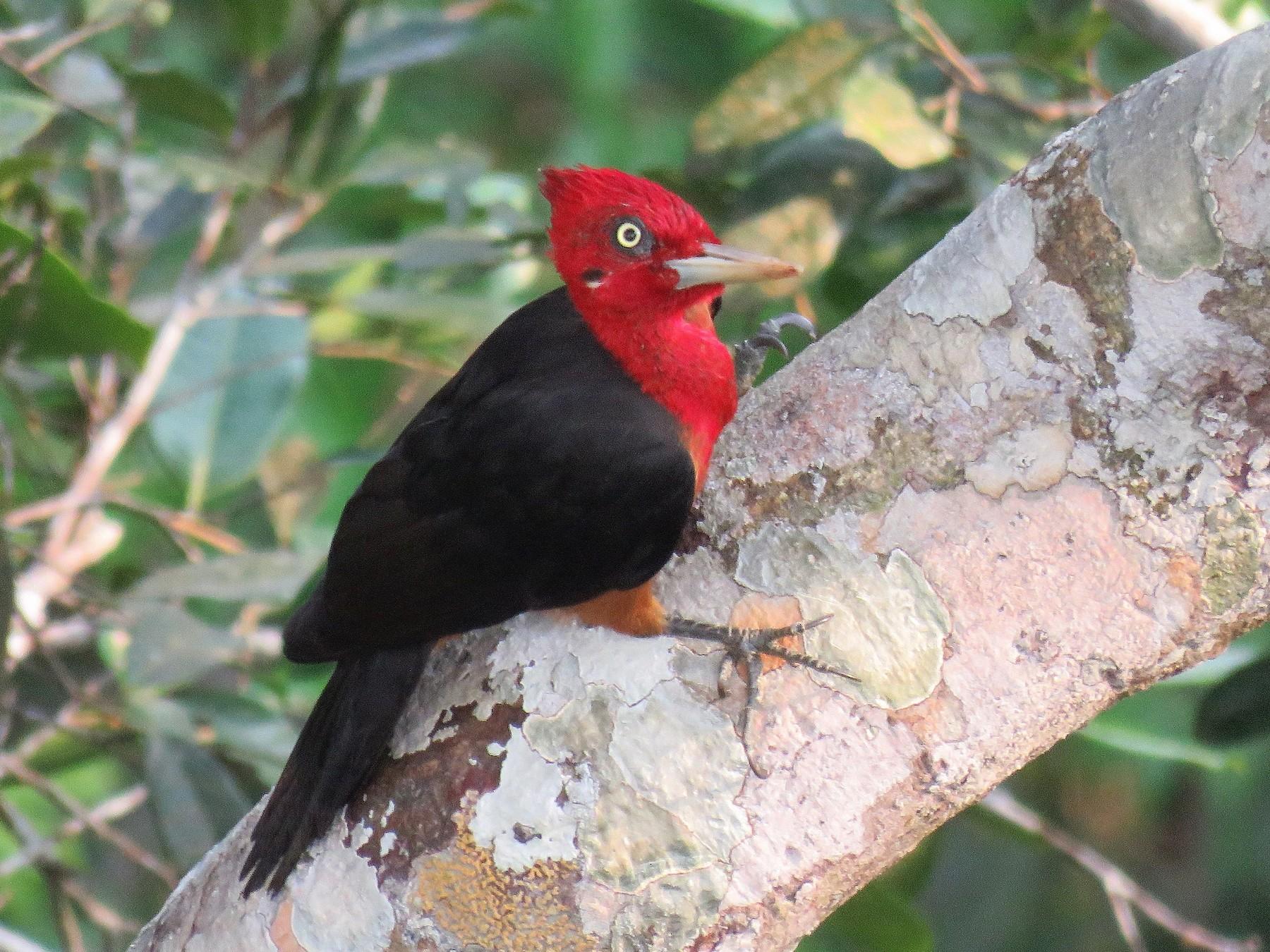 Red-necked Woodpecker - Örjan Sjögren