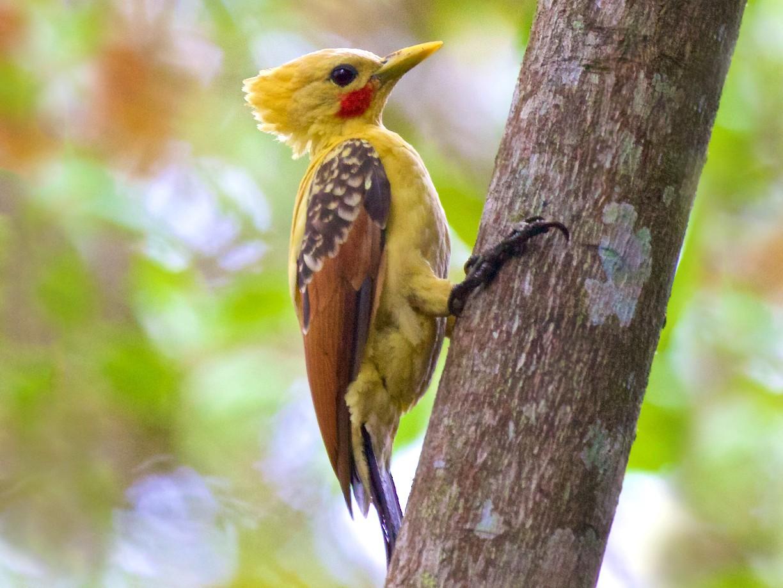 Cream-colored Woodpecker - Ed  Harper