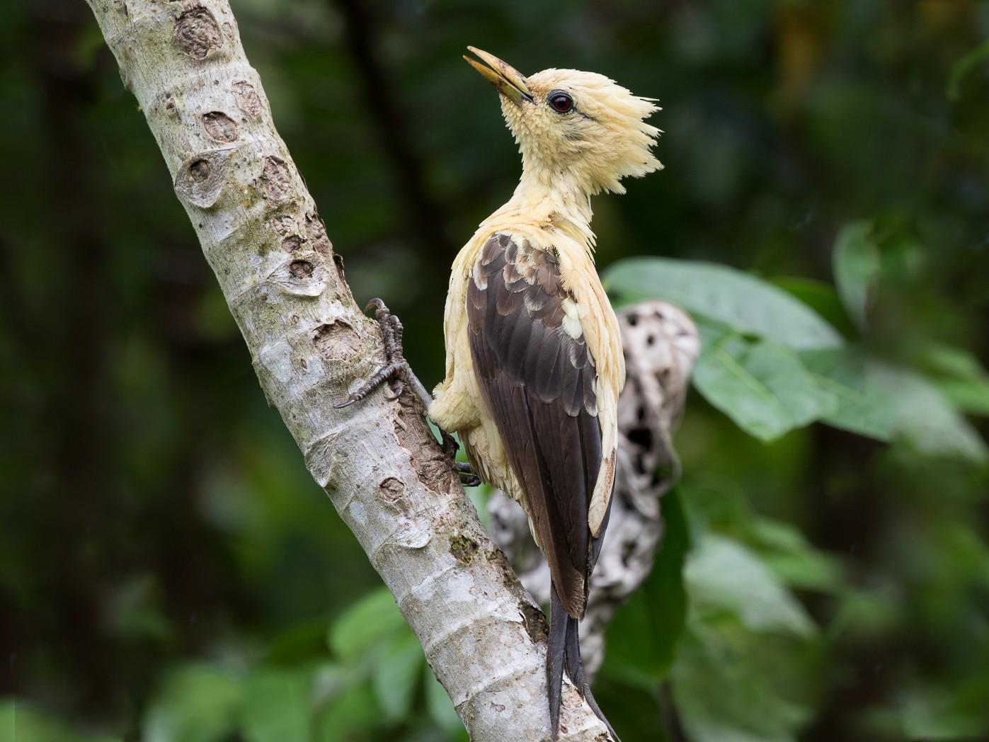 Cream-colored Woodpecker - Silvia Faustino Linhares