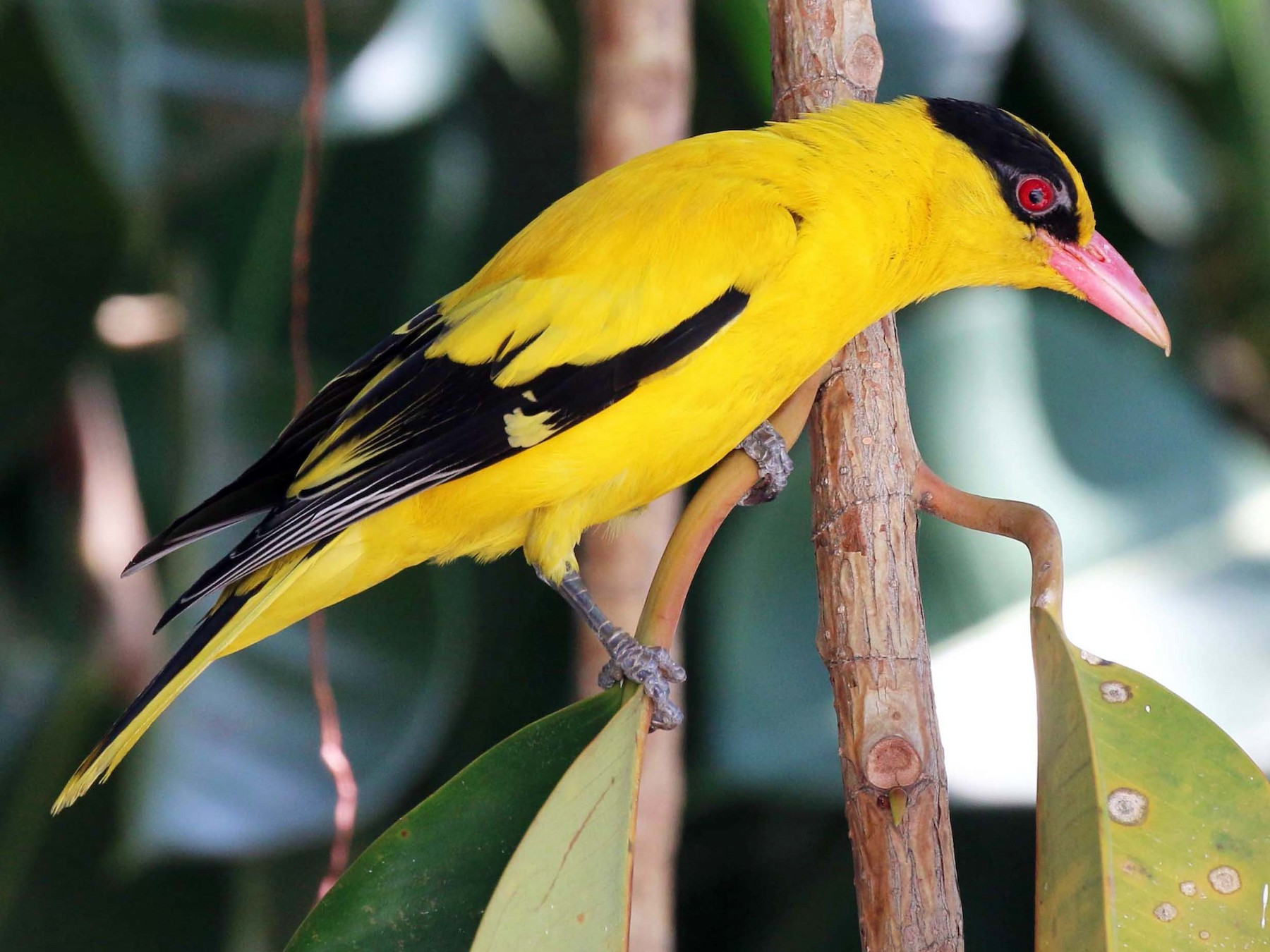 Black-naped Oriole - Neoh Hor Kee