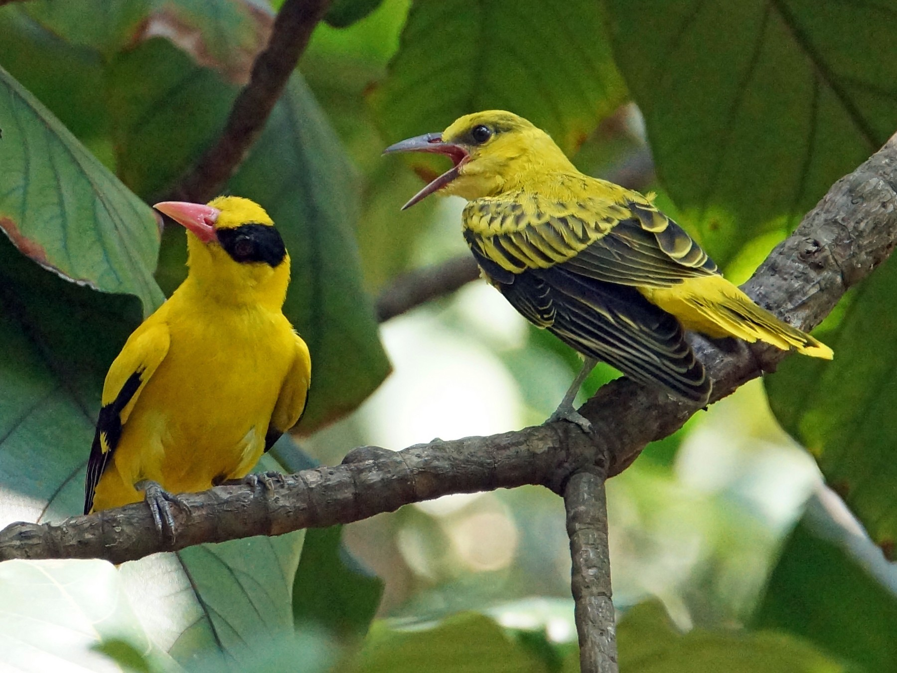 Black-naped Oriole - Peter & Shelly Watts