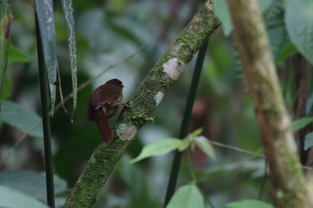 Buff-throated Foliage-gleaner