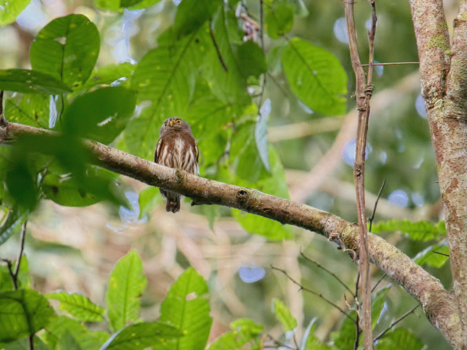 Amazonian Pygmy-Owl - Shailesh Pinto