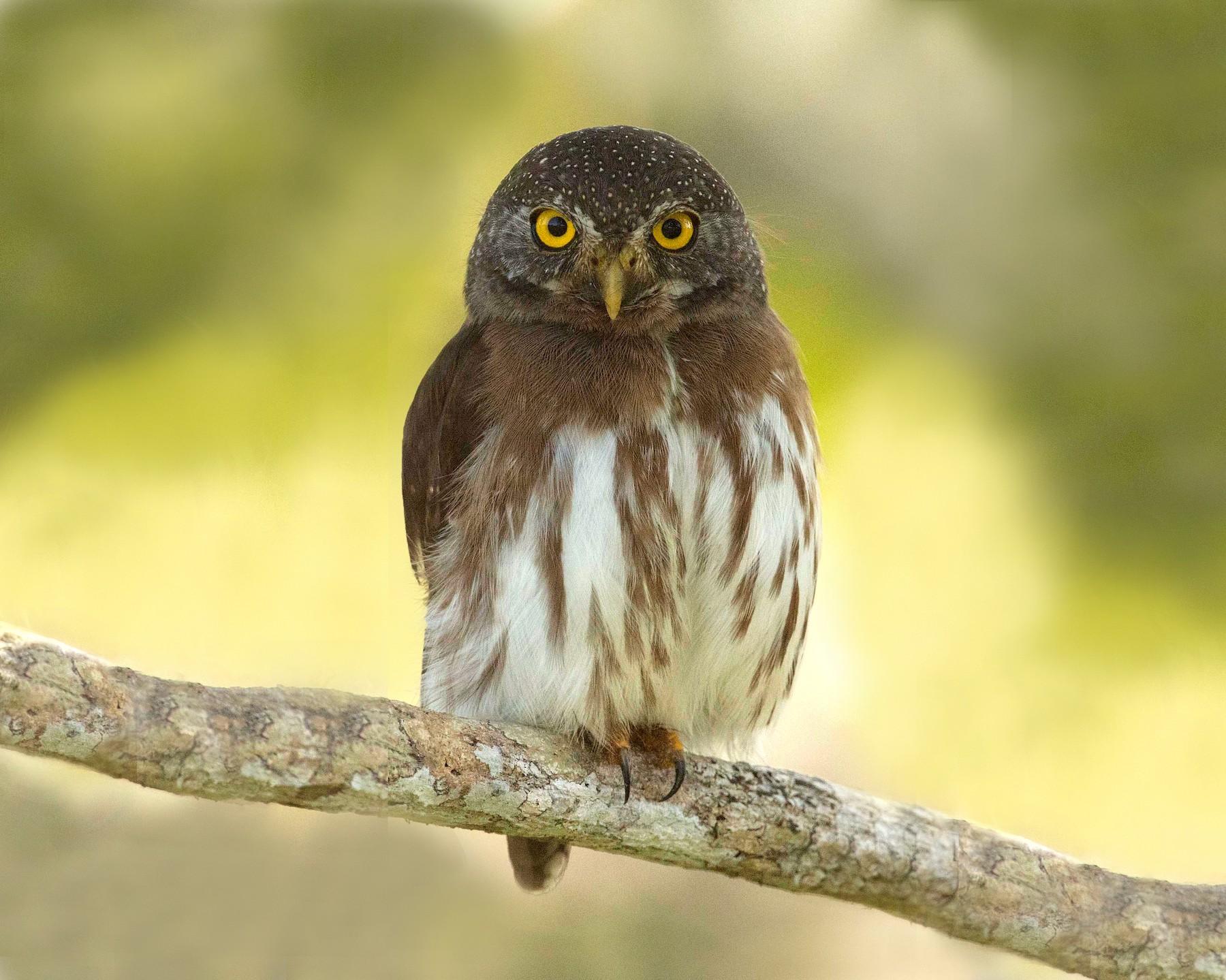 Amazonian Pygmy-Owl - Eric VanderWerf
