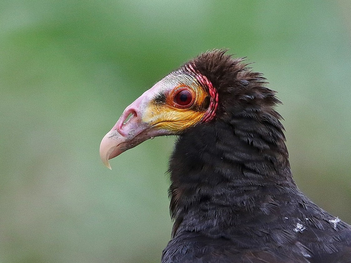 Greater Yellow-headed Vulture - Jeff Tingle