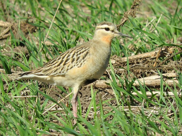 Tawny-throated Dotterel