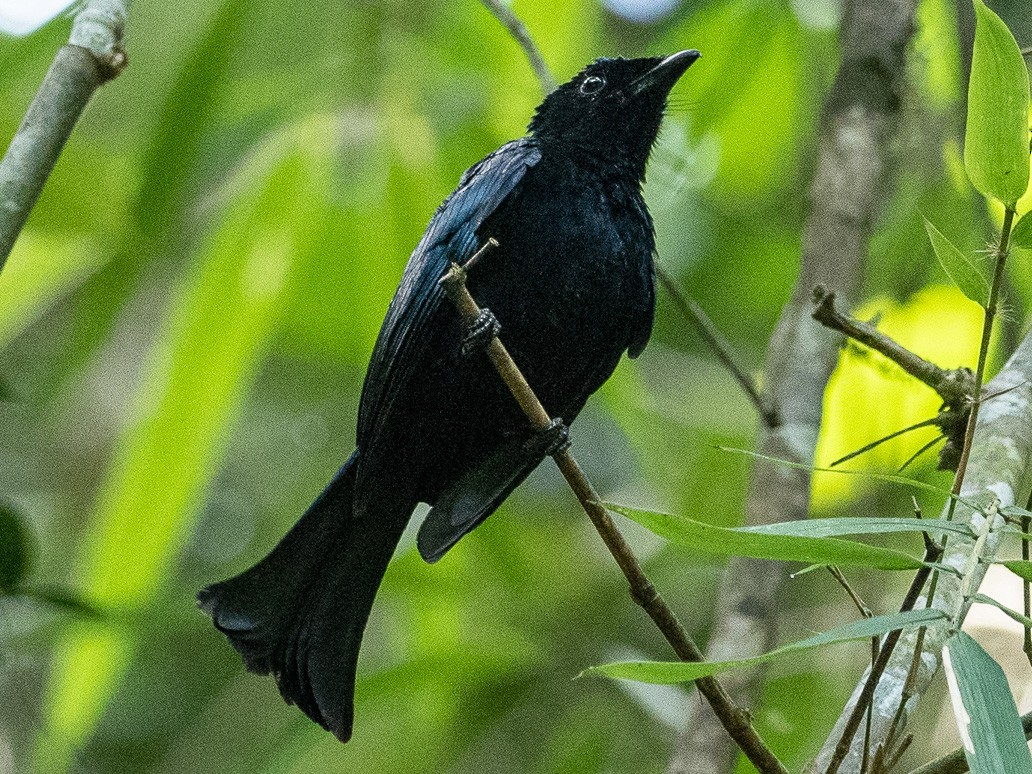 Hair-crested Drongo - Forest Jarvis