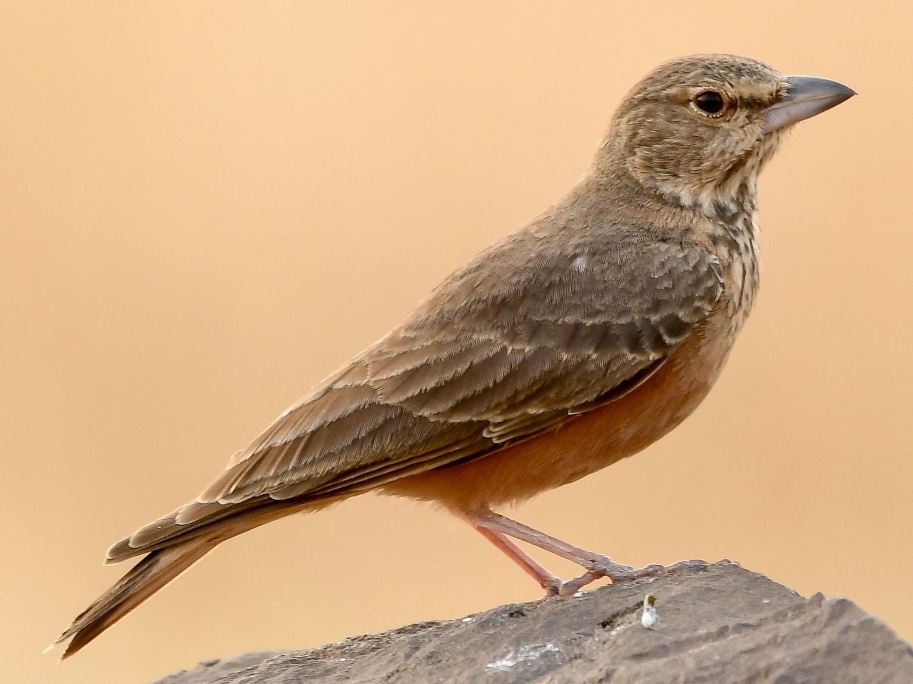 Rufous-tailed Lark - Prem Raut