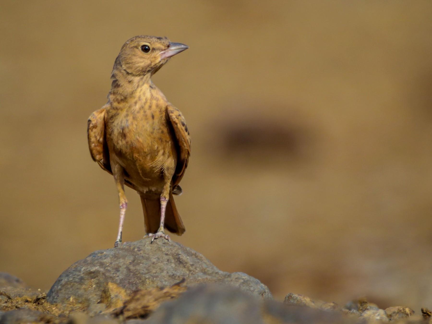 Rufous-tailed Lark - Indranil Bhattacharjee
