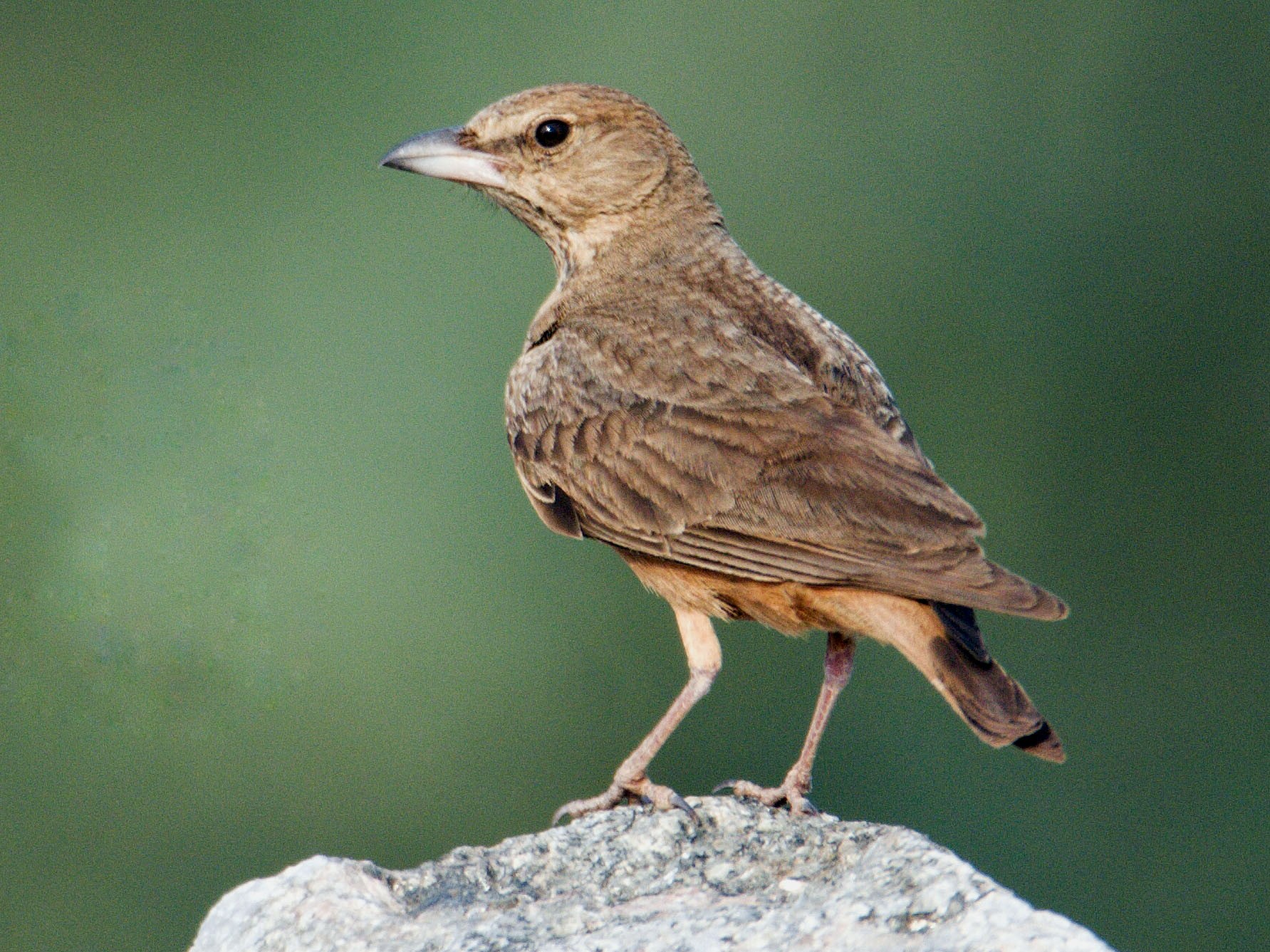 Rufous-tailed Lark - Karthikeyan Ponnambalamoorthy
