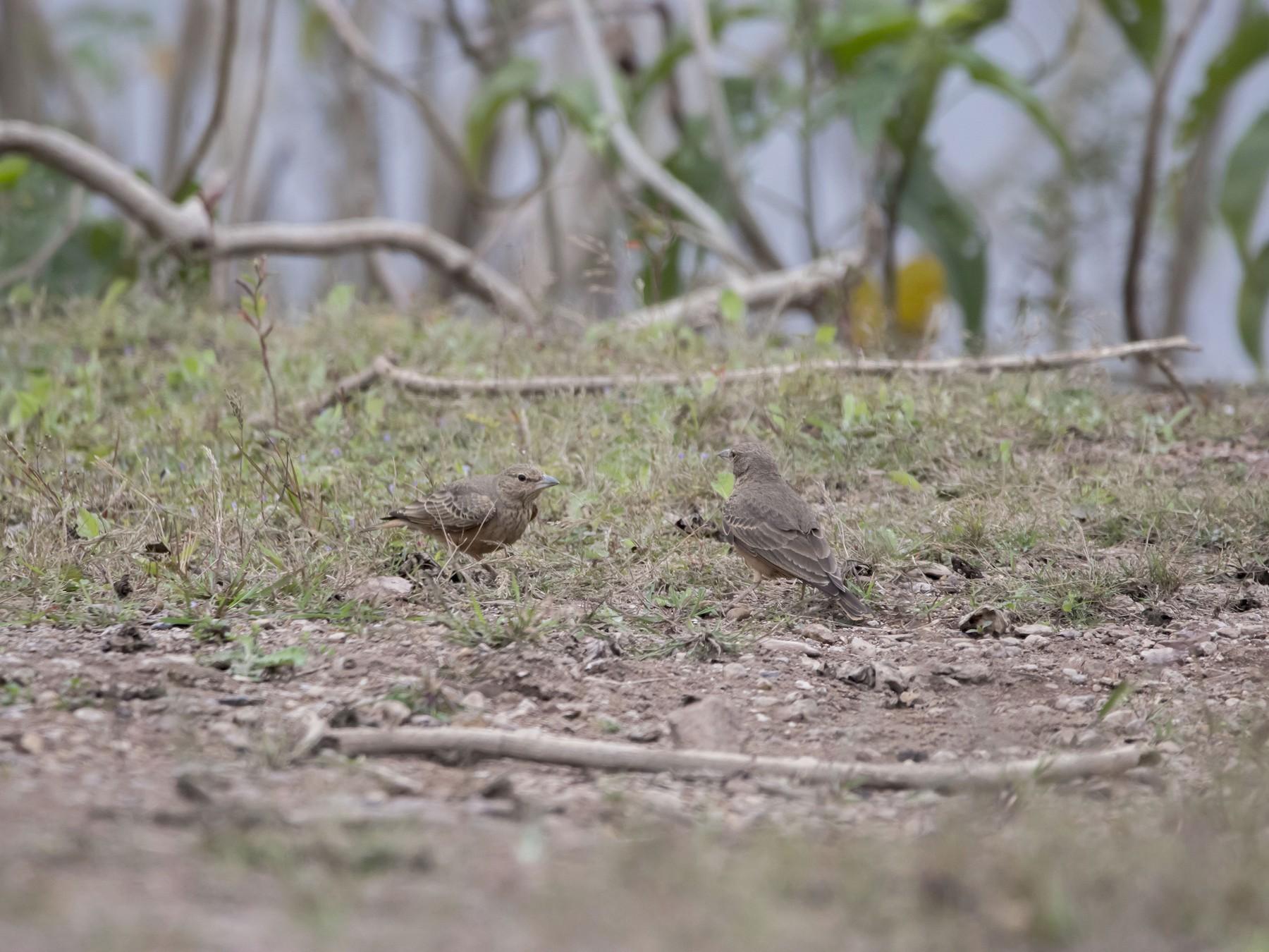 Rufous-tailed Lark - Ravi naidu